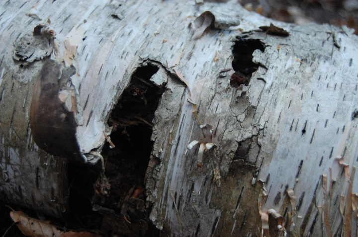 9-24-13 birch bark