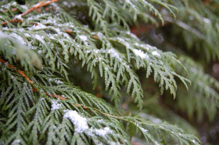 11-24-13 evergreens