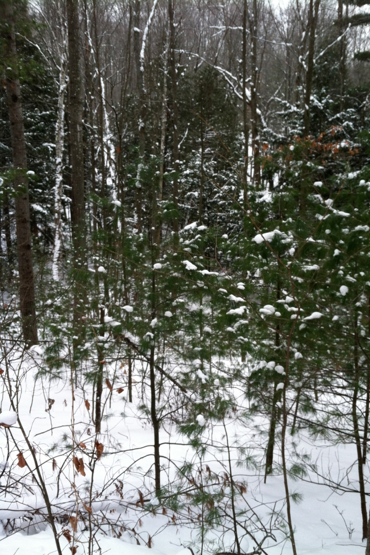 12-16-13 vasa pine trees