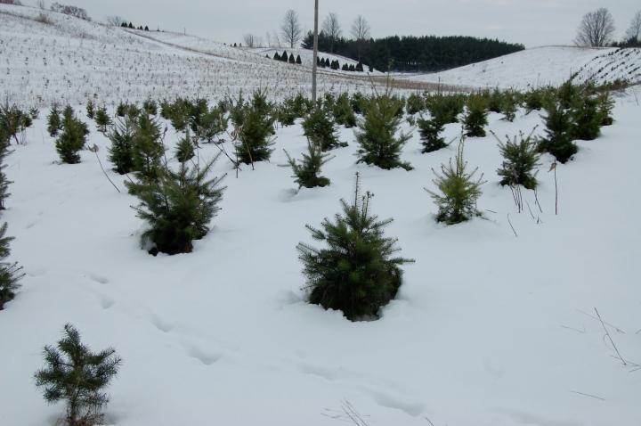12-9-13 baby trees